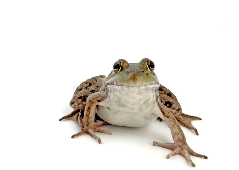 2只青蛙木头 库存照片