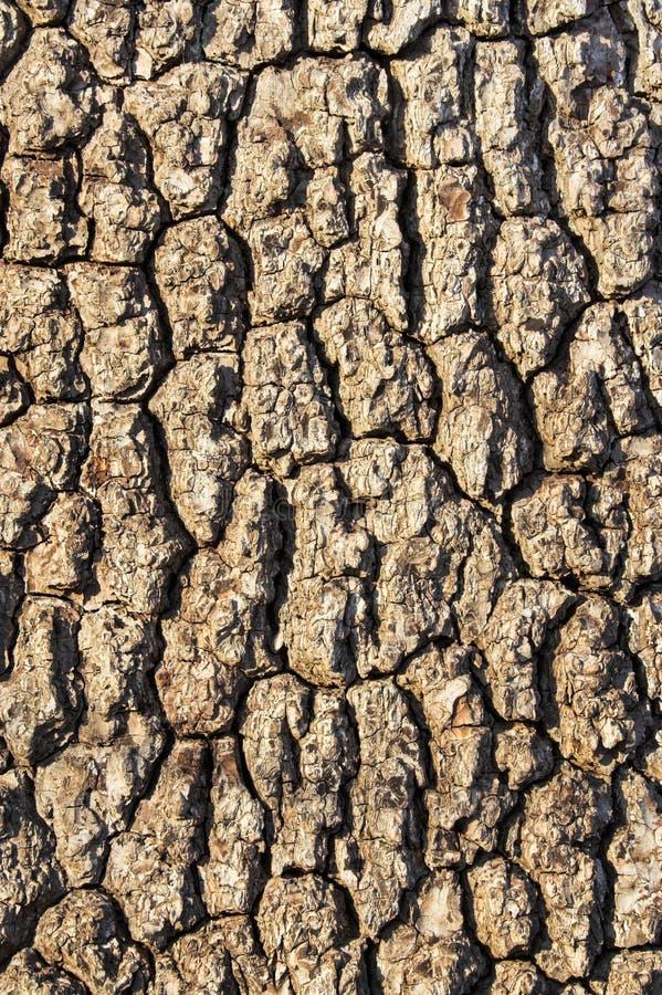 2吠声结构树 免版税库存图片