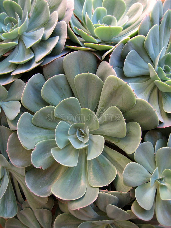2多汁植物 免版税库存图片