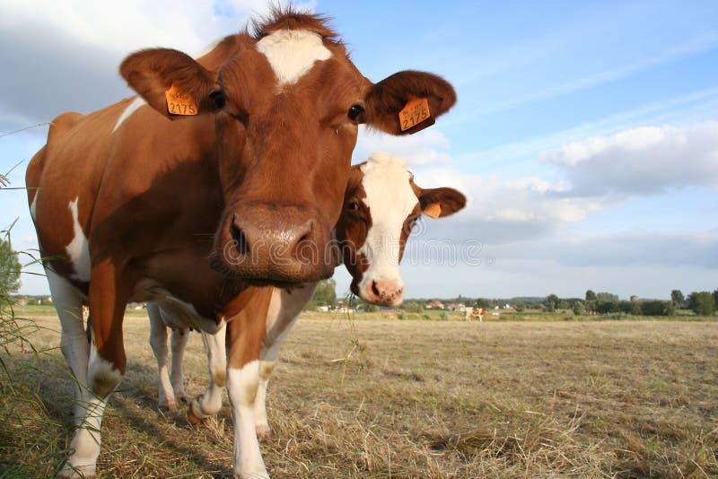 2头母牛 免版税库存图片