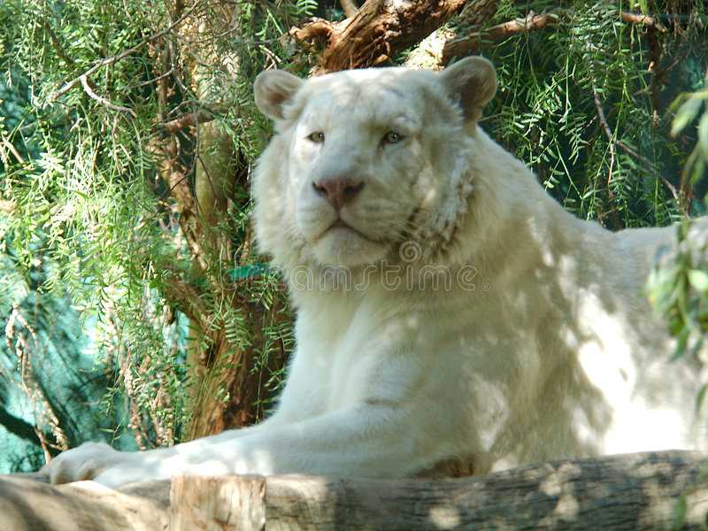 2头狮子白色 免版税库存照片