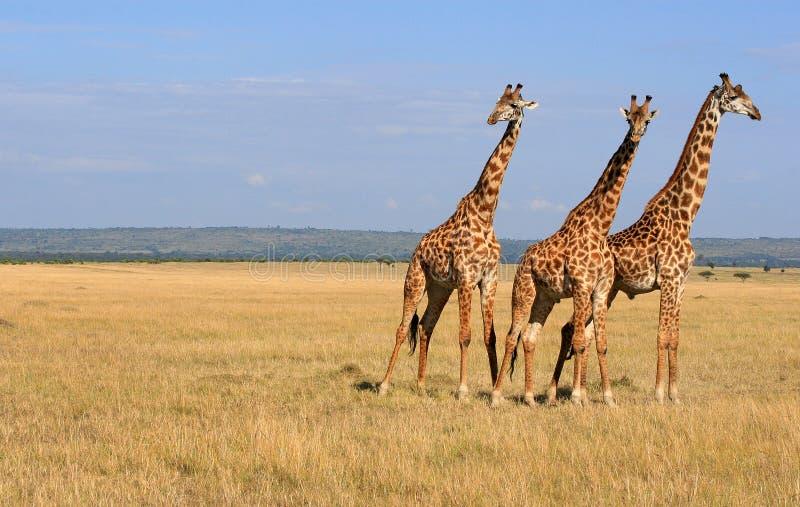 2头长颈鹿 库存图片