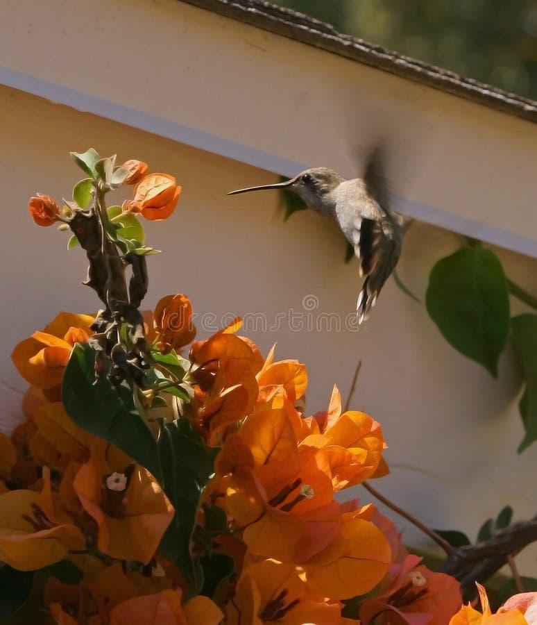 2安娜蜂鸟s 免版税图库摄影