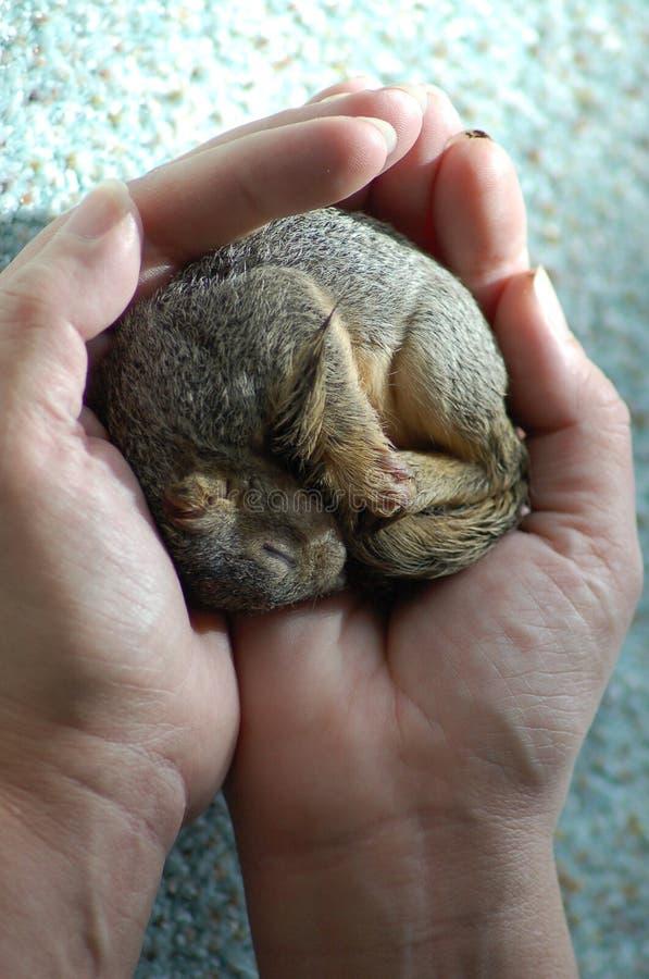 2小灰鼠 免版税库存照片