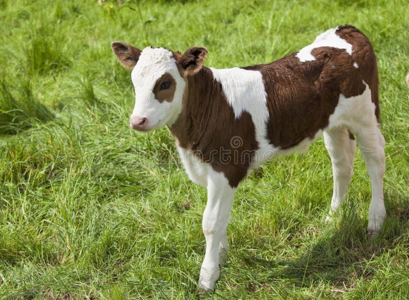 2小牛 免版税库存图片