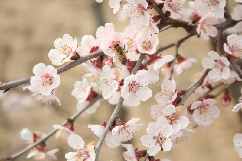 2开花樱桃 库存照片