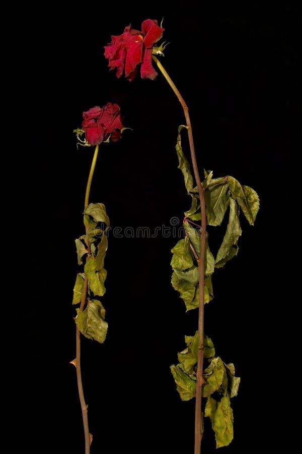 2朵干燥爱老玫瑰 免版税库存图片