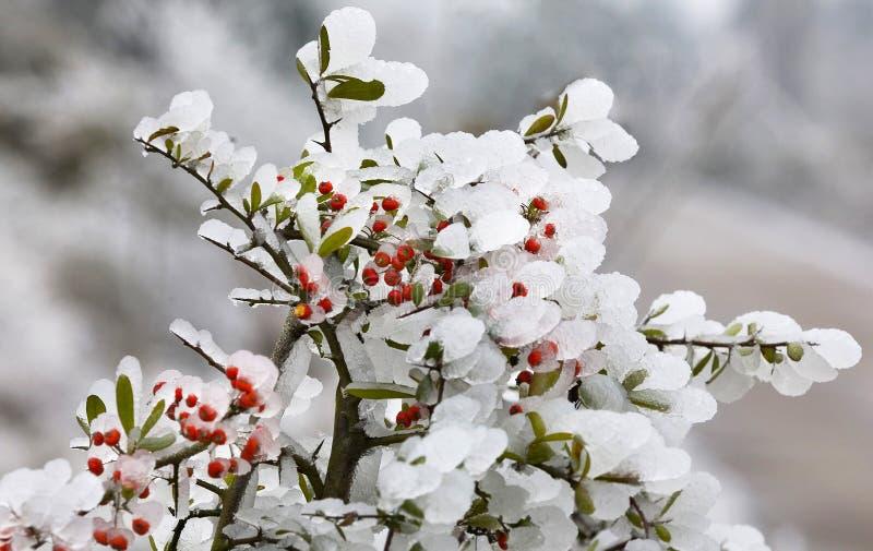 2朵花果子冰火棘 库存照片