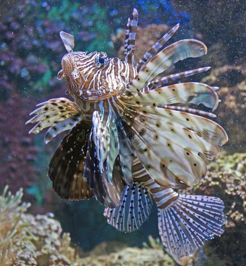 2条鱼狮子 图库摄影