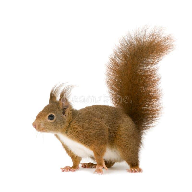 2欧亚红色中型松鼠灰鼠寻常的年 免版税库存照片