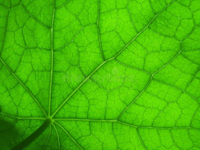 2片叶子旱金莲属植物 库存照片