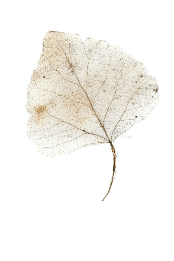 2片叶子概要白色 库存图片