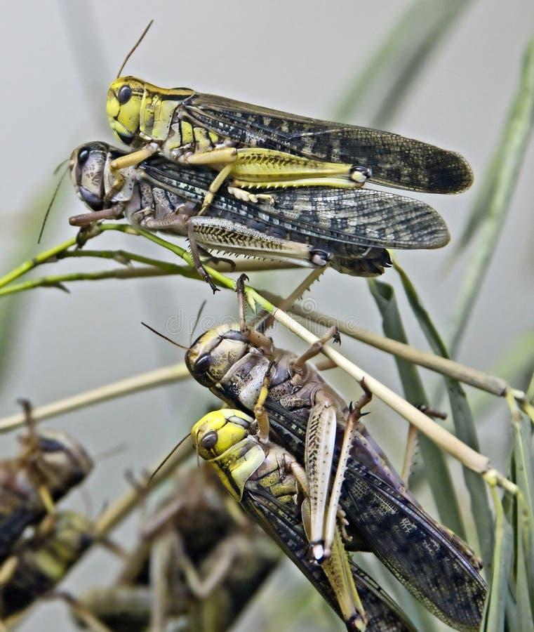 2片沙漠蝗虫 库存图片