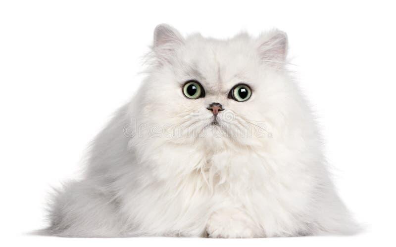2猫老波斯年 库存图片