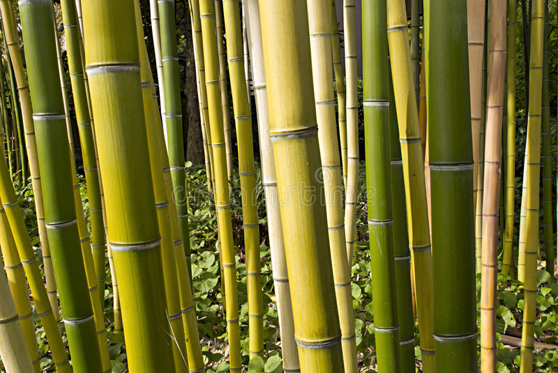 2竹子森林透视图 库存图片