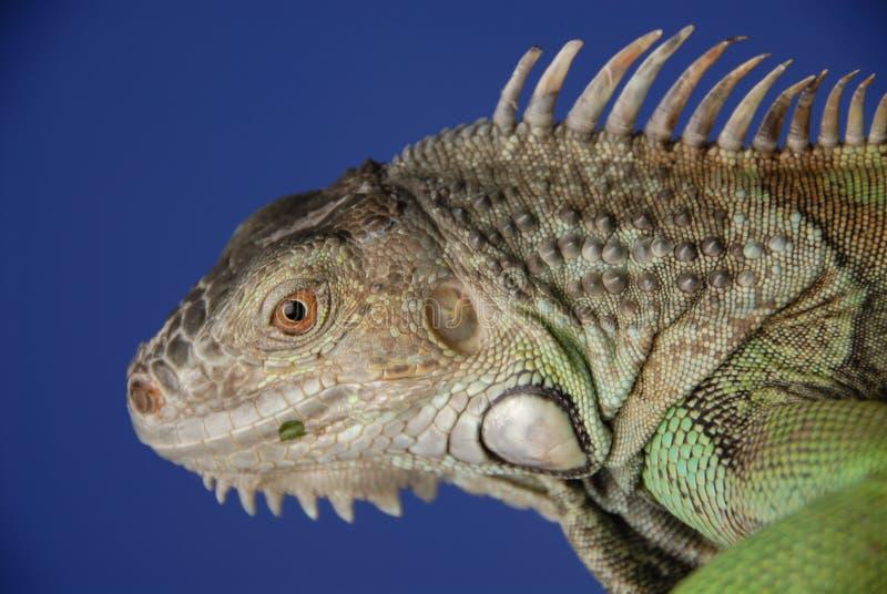 2绿色鬣鳞蜥 免版税库存照片