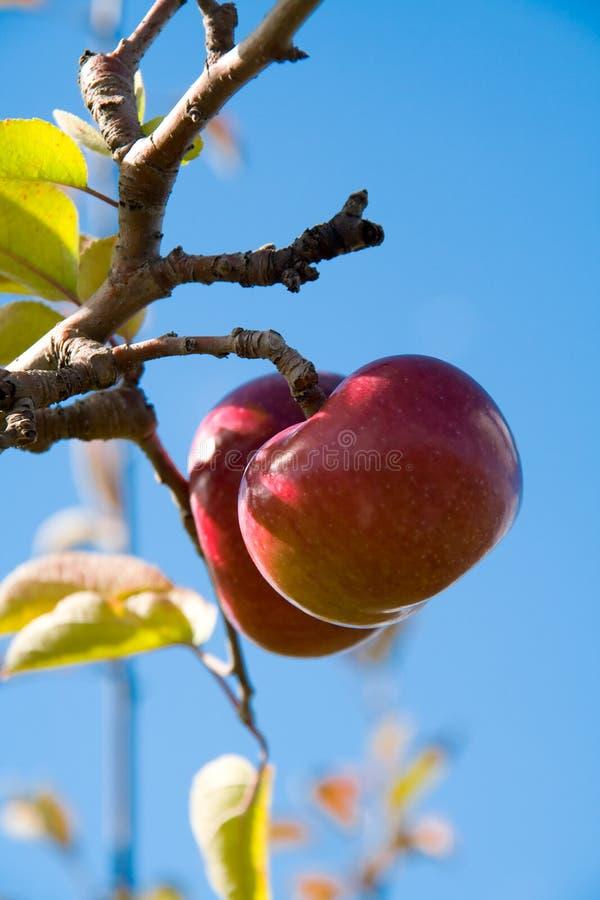 2苹果树 库存照片