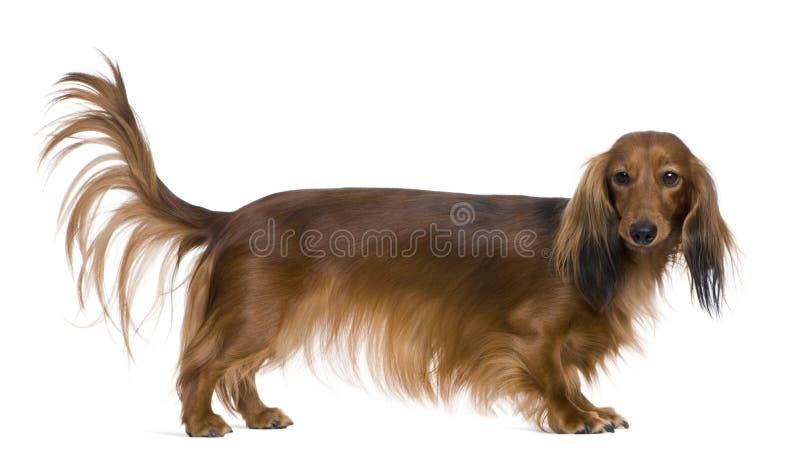 2达克斯猎犬老年 库存图片