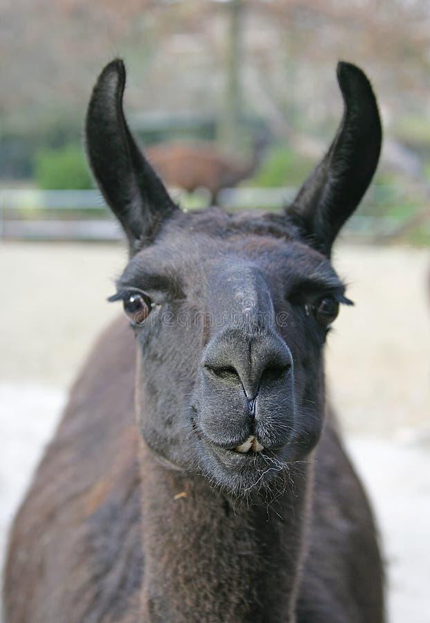 2骆马 免版税库存照片