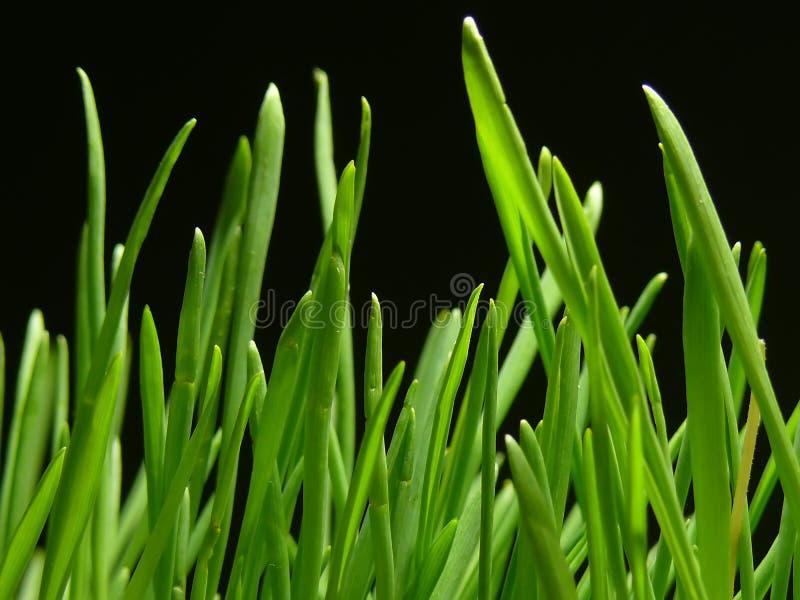 2黑色草 免版税库存图片