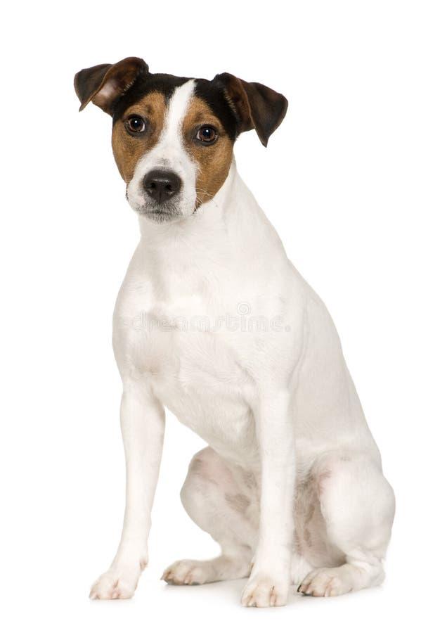 2 år för parsonrussell terrier royaltyfria bilder