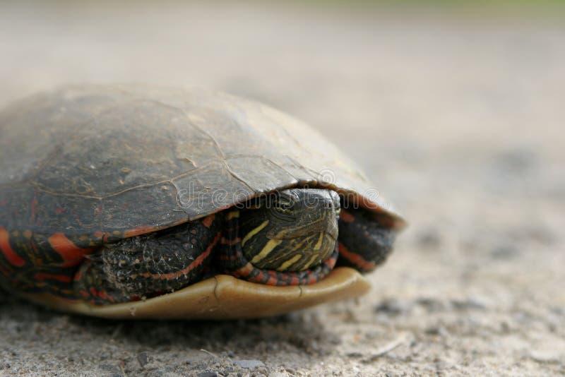 2 żółwia obrazy royalty free