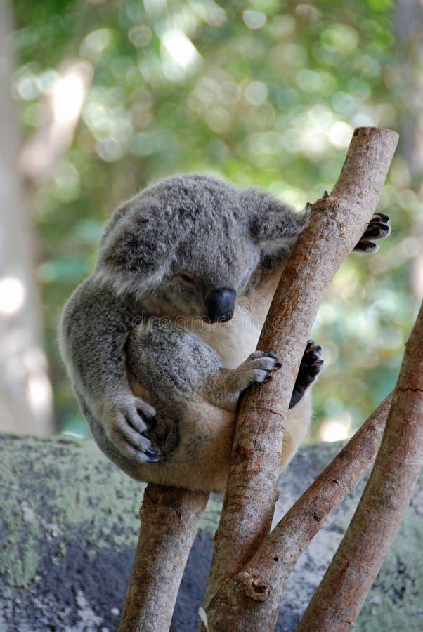 2 αντέχουν το koala στοκ εικόνες