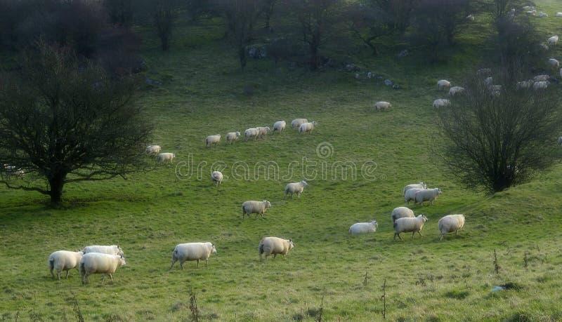2 μετρώντας πρόβατα στοκ φωτογραφίες με δικαίωμα ελεύθερης χρήσης