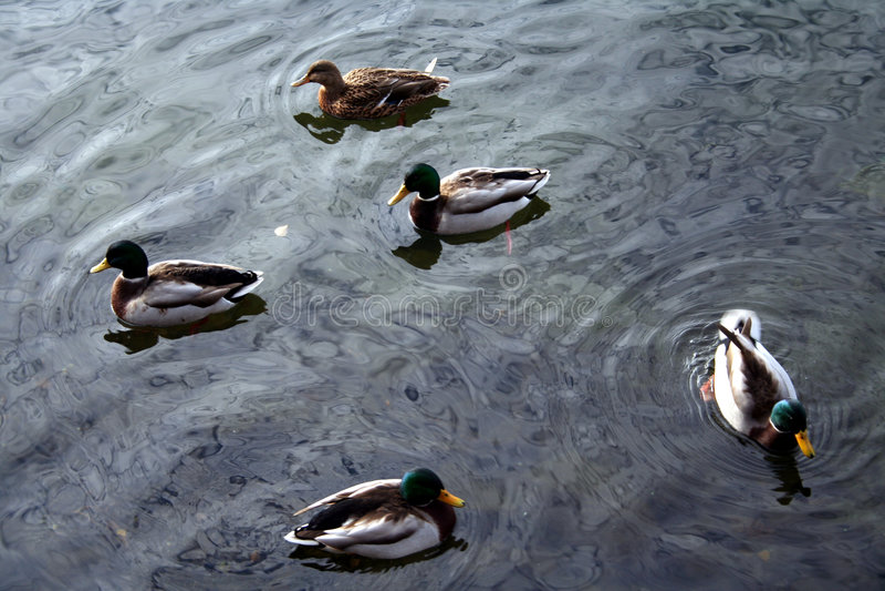 Download 2 πάπιες στοκ εικόνες. εικόνα από πρασινολαίμης, κύμα, ύδωρ - 393652