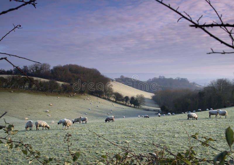 2 παγωμένα πρόβατα στοκ εικόνες