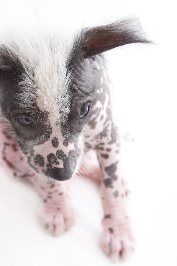 2 σκυλί άτριχος μεξικανός στοκ φωτογραφία με δικαίωμα ελεύθερης χρήσης