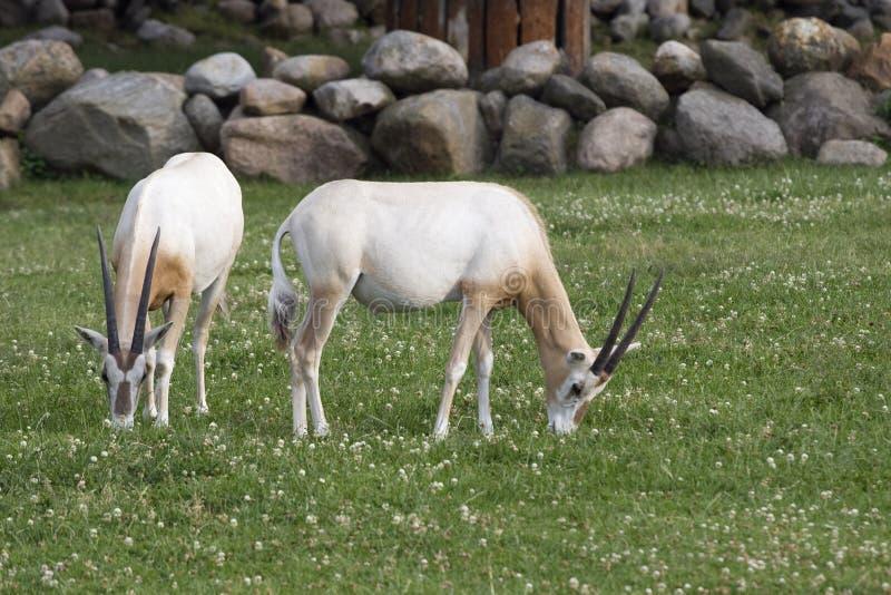 2 антилопы стоковое изображение