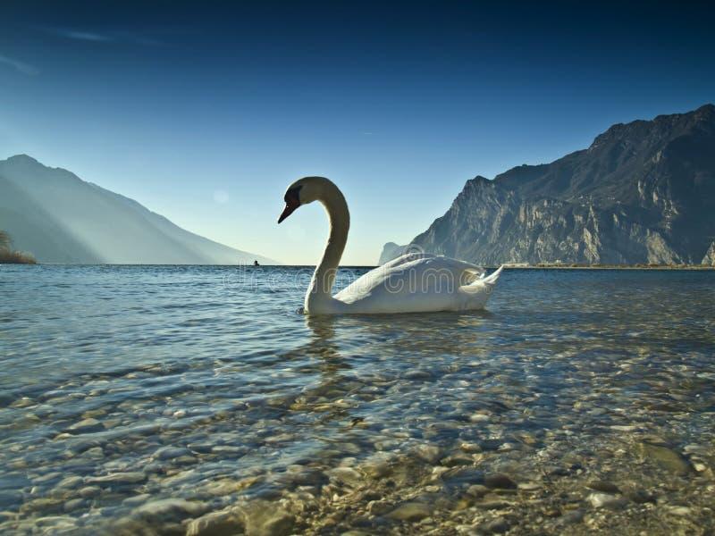 2 его лебедь озера стоковое изображение rf