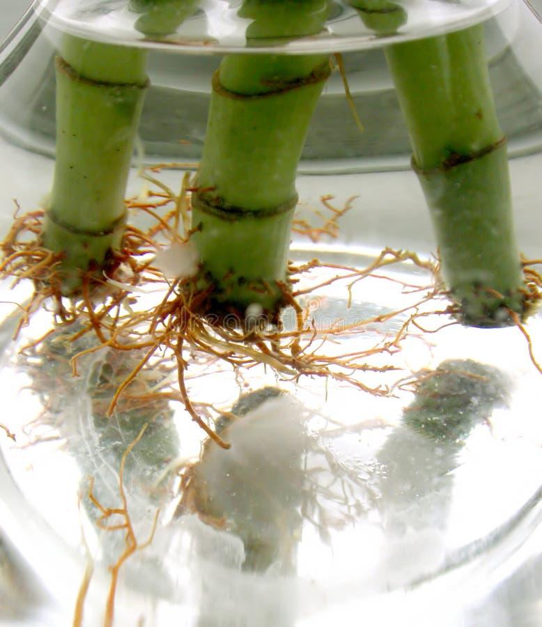 2 корня Стоковая Фотография RF