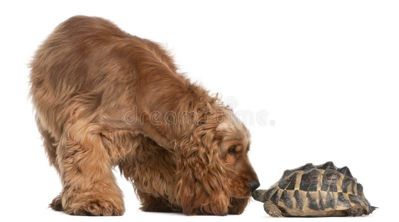2 лет черепахи spaniel кокерспаниеля английских старых стоковое фото rf