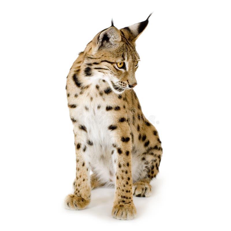 2 лет Lynx Стоковое Изображение