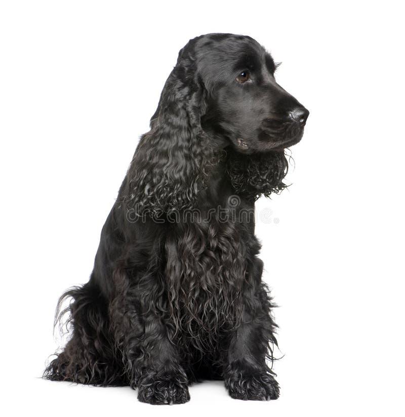 Download 2 лет Spaniel кокерспаниеля английских Стоковое Фото - изображение насчитывающей spaniel, ангстрома: 6852442