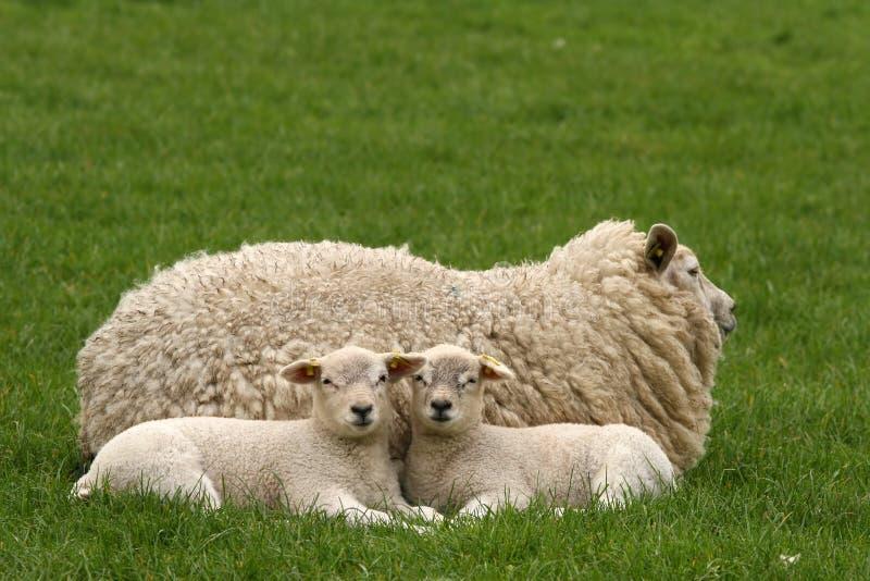 2 маленьких овечки смотря вас стоковые фото