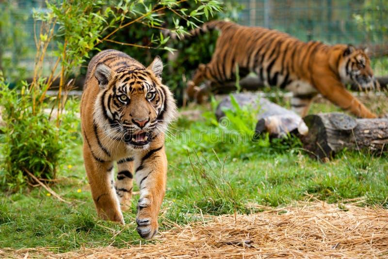 2 молодых тигра Sumatran и играя стоковое фото rf