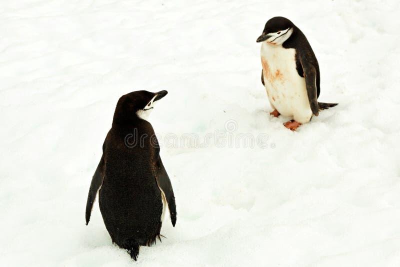 2 пингвина chinstrap интересуемого в одине другого, Антарктиде стоковые изображения rf