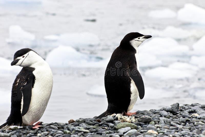 2 пингвина - chinstrap - Pygoscelis Антарктика стоковые изображения rf
