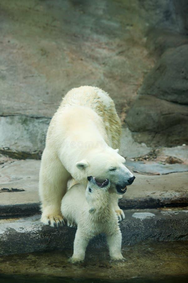 2 полярного медведя стоковое фото