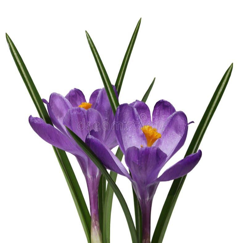 2 пурпуровых цветка крокуса стоковое фото
