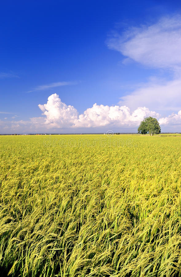 2 серии риса поля стоковое изображение