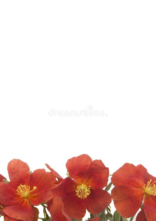 2 цветка красного стоковые изображения rf