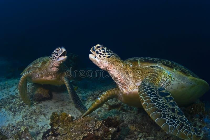 2 черепахи зеленых моря fightiging на рифе стоковая фотография