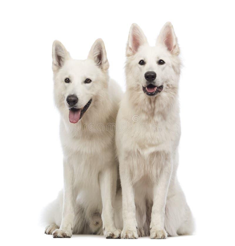 2 швейцарских собаки чабана, 5 лет старых, сидящ, задыхающся и смотрящ прочь стоковое фото