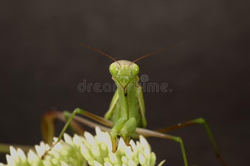 2捕食的螳螂 免版税库存图片