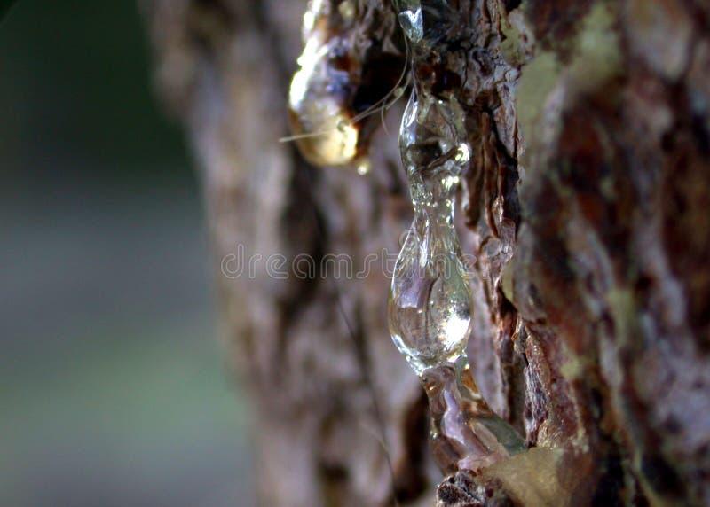 2棵杉木间距树脂树汁 免版税库存图片