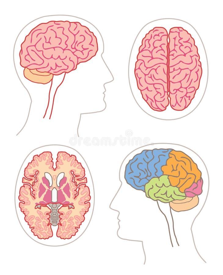 2 anatomia mózg ilustracji